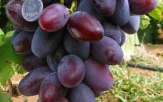 Виноград Атаман: описание сорта, фото и отзывы садоводов