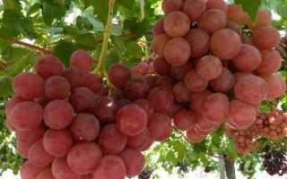 Виноград Гурман Ранний: описание сорта, фото и отзывы садоводов