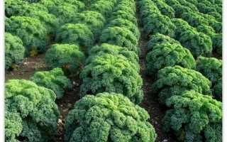 Как вырастить капусту кале на своем огороде из семян