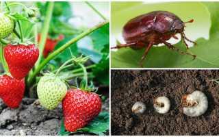 Как избавиться от личинки майского жука на клубнике?