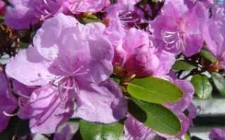Выращивание рододендрона ледебура в декоративном садоводстве