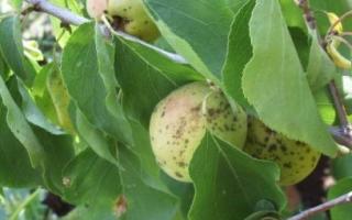Клястероспориоз абрикоса — как лечить?