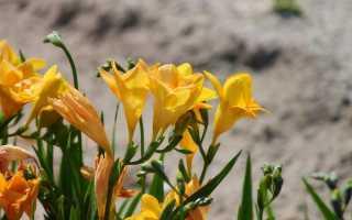 Фрезия: описание, посадка и уход
