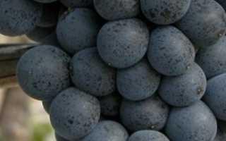 Виноград Саперави: описание сорта, фото и отзывы садоводов
