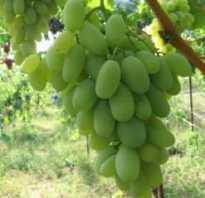 Виноград Дамские пальчики: описание сорта, фото и отзывы садоводов