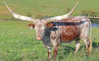 Какие рога у быка: анатомия, для чего служат, отрастают ли