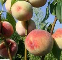 Крымские сорта персиков