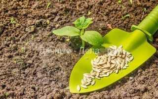 Когда садить огурцы в открытый грунт, советы огородников