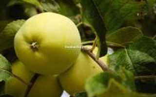 Яблоня Данила — описание сорта, фото, отзывы