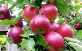 Осенние сорта яблони