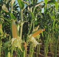 Полезные свойства кукурузы для мужчин, женщин и детей