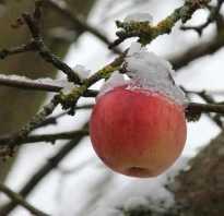 Что делать, если яблоня замерзла?