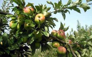 Яблоня Богатырь — описание сорта, фото, отзывы