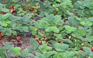 Как выращивать клубнику в открытом грунте — пошаговая инструкция