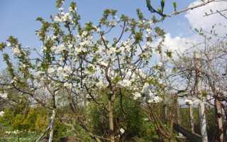 Вишня Чудо — описание сорта, фото, отзывы садоводов