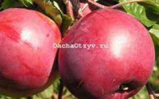 Яблоня Дарунок — описание сорта, фото, отзывы
