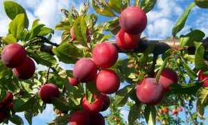 Слива Аленушка — описание сорта, фото, отзывы садоводов