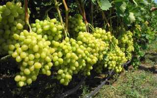 Чем подкормить виноград осенью,
