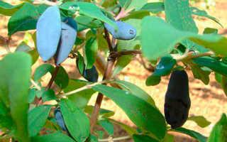 Жимолость Лебедушка — описание сорта, отзывы и фото