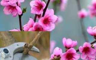 Когда проходит цветение персика?