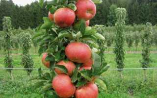 Колоновидные яблони — посадка и уход