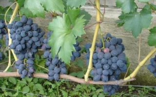 Виноград Забава: описание сорта, фото и отзывы садоводов