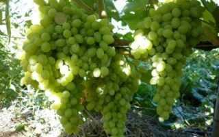 Виноград Кишмиш: описание сорта, фото и отзывы садоводов