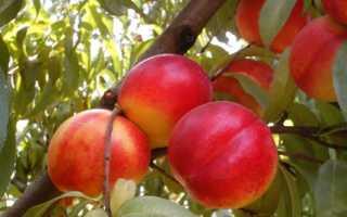 Разновидности персиков