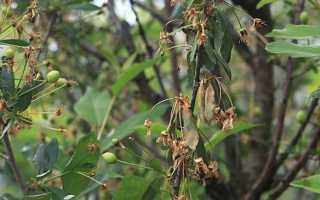 На вишне сохнут ветки и листья, что делать?