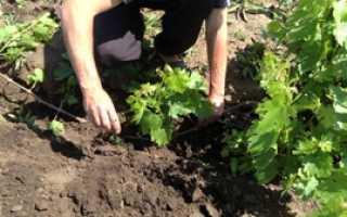 Размножение девичьего винограда черенками весной