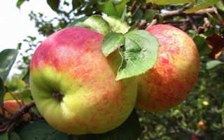 Яблоня Орловим — описание сорта, фото, отзывы