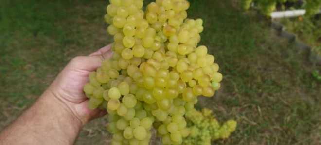 Виноград Кишмиш 342: описание сорта, фото и отзывы садоводов