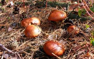 Какие грибы растут в ростовской области, где можно собирать