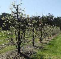 Груша Вильямс — описание сорта, фото, отзывы садоводов