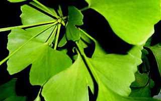 Дерево гинкго билоба: применение в народной медицине