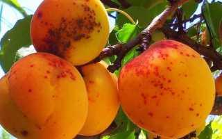 Парша на абрикосе — как бороться — это важно знать