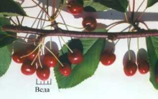 Черешня Веда — описание сорта, фото, отзывы садоводов