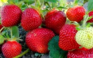 Земляника Ламбада: выращивание, описание сорта, фото и отзывы
