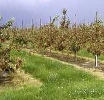 Вредители груши на листьях