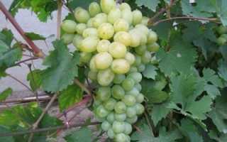 Виноград Богатяновский: описание сорта, фото и отзывы садоводов