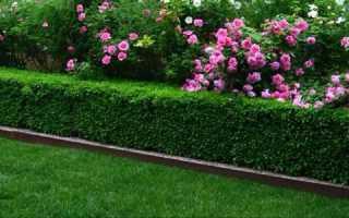 Виды самых быстрорастущих кустов для живой изгороди на даче