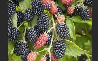 Ежевика Полар — описание сорта, характеристика, выращивание, фото и отзывы