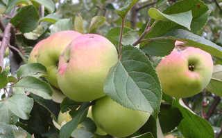 Яблоня Имрус — описание сорта, фото, отзывы