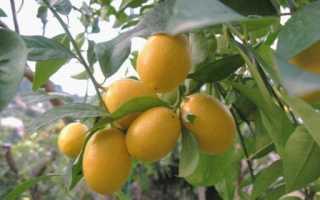 Лаймкват (лимонелла): выращивание в домашних условиях