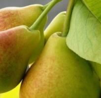 Подкормка груши весной — полезная информация