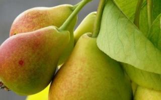 Чем подкормить весной грушу?